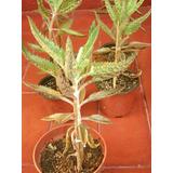 Plantas De Kalanchoe Daigremontiana (aranto) Medicinal