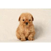 Exclusivos Cachorros Caniche Míni Micro Toy Machos Y Hembras