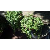 Planta De Rosario - Senecio Rowleyanus - Bolitas Colgantes