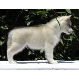 Husky Siberiano Pedigree Prospecto Show Puppy Kit Gratis