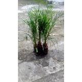 Mudas De Palmeira Fhenex 70cm - Kit 6 Mudas