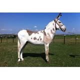 Capim Vaquero Mulas Jumentos Cavalos Fenação 20 Kg Sementes