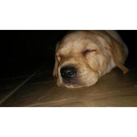 Filhote Cachorro Labrador Legítimo