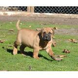 Bellos Cachorros Bullmastiff, Reserva Abierta