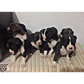 Magnificos Cachorros Boxer Atigrado/negros, Pedigree
