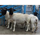 Manual Para La Cria De Ovejos & Cabras Muy Completo