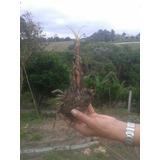 Muda De Banana Nanica Rizoma 15cm Frete Gratis!!! Aproveite