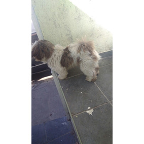 Shitzu , Macho 1 Ano E 3 Meses Cachorro Ainda Nao Vendido