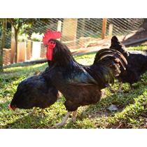 Dúzia De Ovos Galados De Galinhas Ornamentais Gigante Negro