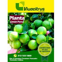 Planta De Limon Persa
