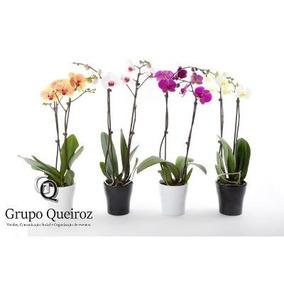 Orquídeas Phalaenopsis Mudas Exclusivas Kit C/10 Und