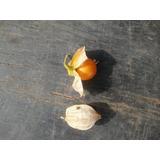 Camambú Physalis Viscosa Maleza Comestible Nativa