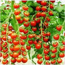 200 Sementes De Tomate Samambaia P/ Mudas Vaso Horta+ Brinde