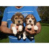 Cach Beagle Excelentes Ped Fca!!!