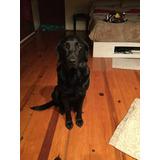 Semental Labrador Negro Con Pedigree Busca Novia C/ Pedigree