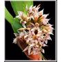 Orquídea- Maxillaria Densa