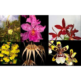 Kit 6 Mudas De Orquideas Aromaticas Varias Cores Adultas