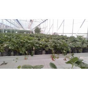 Planta De Fresa 30 Envio Gratis Dhl Promoción 3x2