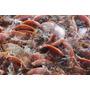 Fórmula Ração Para Peixe Larva Alevino Engorda + 3 Brindes
