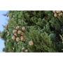 Plantín Árbol Ciprés Común