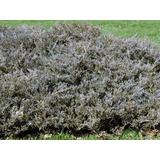 Pino Rastrero Juniperus Horizontalis Plumosa. S. Del Alma.