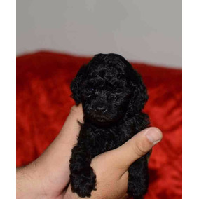 Cachorros Caniche Toy Mini Toy Negros