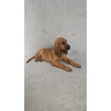 Ultima Hermosas Cachorra Bloodhound
