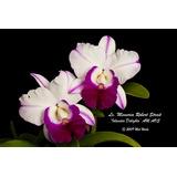 Lc.memória Robert Stralt - Orquídea Hibrida