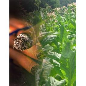 Cigarros Corona 100% Dominicano En Blend Añejados En 9 Años