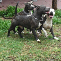 Criadero Age Of Meka Pitbull Blue Argentina
