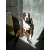 American Stanford Terrier