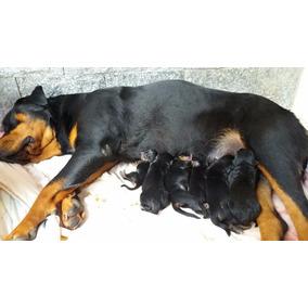 Filhotes De Rottweiler Cabeça De Touro, Pedigree Opcional...