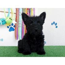 Ultimo Cachorrito Scotthish Terrier Escoces Negro