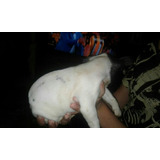 Perrito Bulldog Frances Hasta 12 Cuotas Sin Recargo.