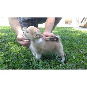 Chihuahuas Pelo Largo Criadero La Shanna F.c.a.
