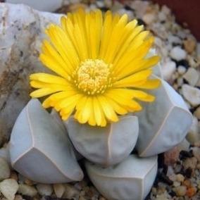 20 Sementes De Cactos Cactus Lithops Pedra Viva Mix