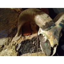 Cráneo Replica De Borrego Cimarron. Con Pintura Óleo .
