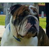 Servicio De Monta Bulldog Ingles