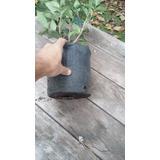 Planta Oleo Texano Cerco Vivo Plantines