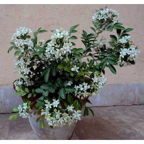 Murta De Cheiro Jasmim Cerca Viva Semente Flor Para Mudas