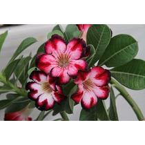 Rosa Do Deserto Flor Do Deserto Adenium Mudas De Flores