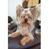 Yorkshire Terrier, Hembra Disponible