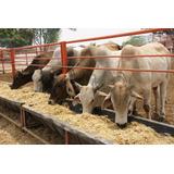 Ganado Escotero, Vacas Preñadas Certificada Y Novillas,toros