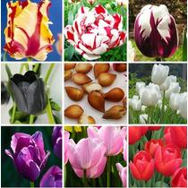 Bulbos De Tulipán Genuino, Varios Colores