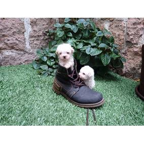 Cachorros Caniche Minitoy Macho Y Hembra Fotos Reales.