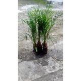 Palmeira Fenex 70cm Altura