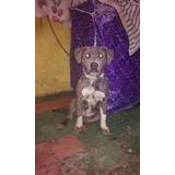 Pitbull Bully Blue 7 Meses Macho Atigrado