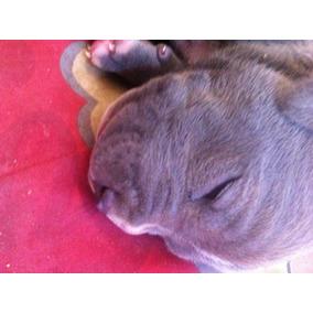 Cachorros Pitbull Blue Y Blue Faun