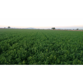 Alfalfa Paca Alta Calidad $3.5 Mayoreo Pastura Comida Fresca