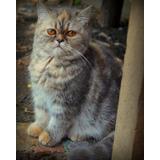 Imponentes Gato Exotico Pelo Corto Gran Linaje Hermoso Color
